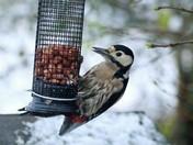 Woodpecker on the nut feeder
