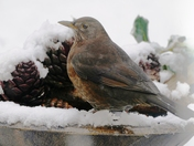 Female Blackbird in the snow.