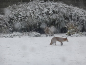 Fox  in our rear garden.