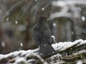 Snow off a blackbird's back