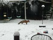 Fox in London Snow