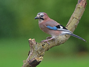 Jay in Hemblington