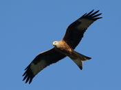 Red Kite overhead!