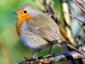 on robin watch
