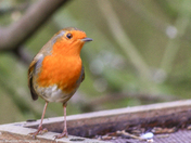 Robin without any snow