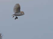 Barn Owl with catch.