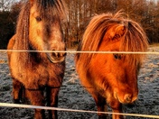 Frosty friendly ponies