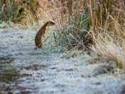Stoat on a frosty morning. Winter