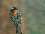 Kingfisher fishing.