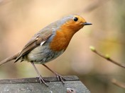 National Robin Day