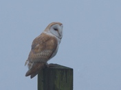 Barn Owl in the Fog.