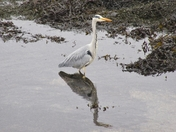 Heron in Oban Harbour