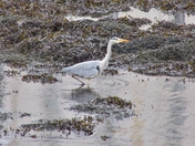 Heron in Oban Harbour