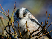 Longtailed tit close-up