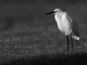 Egret in the sun.