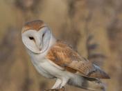Barn Owl visits me.