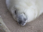 Seals at Waxham Sands