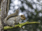 Squirrel in Ashcombe Park