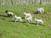 New lambs,photo challenge