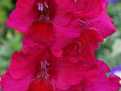 Gladiolus close-up