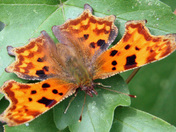 Comma butterfly close-up