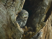 Little owl trying to keep warm.