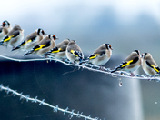 Gold Finches resting.
