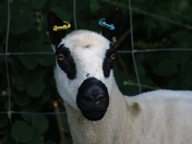 Black and White: Sheep