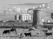 Buckenham Cattle to Cantley B&W