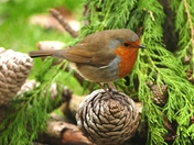 Robin in the conifer.