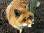 Beautiful native Red fox.