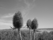 Black and White: Teasels