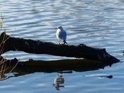 Gull Having A Rest