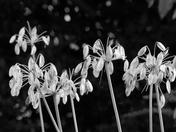 BLACK/WHITE, Seed Heads