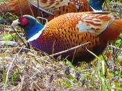 Pheasant feeding together