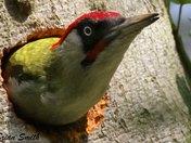 Male Green Woodpecker.