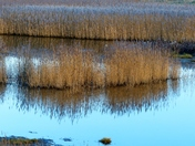 Reed Bed Reflection