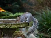 Thirsty Squirrel