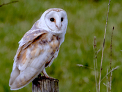 Barn Owl at Fen farm.