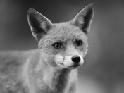 A beautiful wild red fox in black and white.