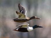 Pair of shoveler ducks in flight