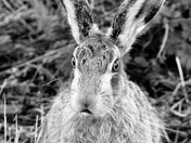 Black and white hare
