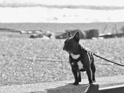 French bulldog in Aldeburgh - black and white