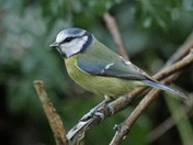 Blue tit for Blue Monday
