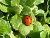 CIRCLES. Ladybird