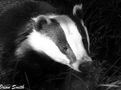 Badger in a shaft of light