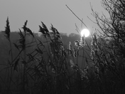 Reeds Swaying In The Moonlight