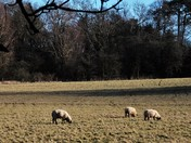 Sheep at Hasketon