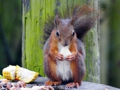 Red Squirrel, Snack Time