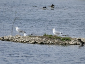 Gulls On Their Own Little Island